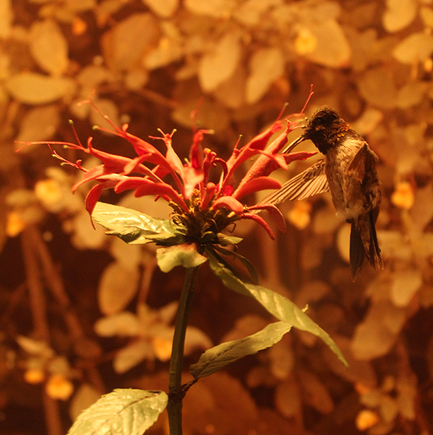 ruby-throated-hummingbird-specimen