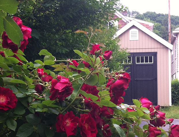 garden shed and climbing rose