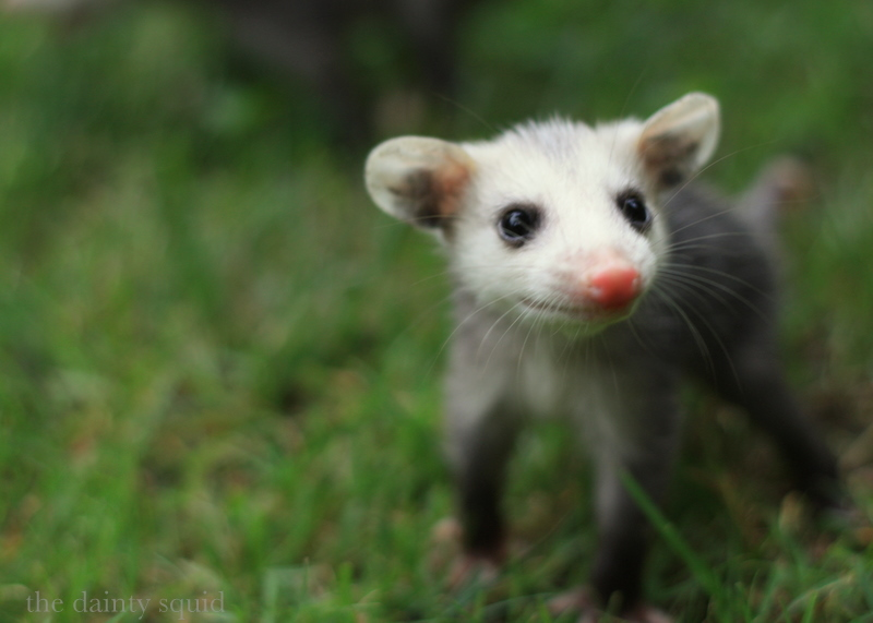 Smiling Possum Photo by the dainty squid